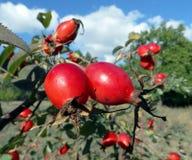 fruta de la Perro-rosa fotografía de archivo libre de regalías