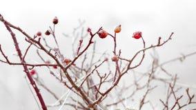 fruta de la Perro-rosa en la niebla almacen de metraje de vídeo