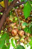Fruta de la pomarrosa Imagen de archivo libre de regalías