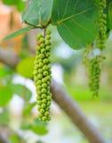 Fruta de la uva del mar Imagenes de archivo