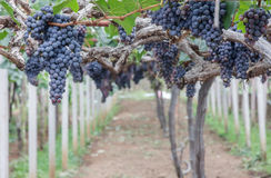 Fruta de la uva en árbol Imágenes de archivo libres de regalías