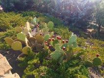 Fruta de los higos chumbos SABRE, frutas de las especies ficus-indica de la Opuntia de cactus, también llamadas como Opuntia del  imagenes de archivo