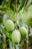 Fruta de los mangos Fotografía de archivo libre de regalías