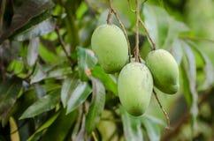 Fruta de los mangos Fotografía de archivo
