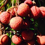 Fruta de Lychee Imagens de Stock Royalty Free