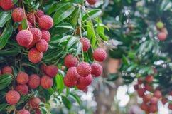Fruta de Lychee Imagens de Stock