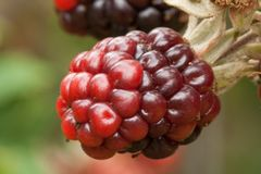 Fruta de maduración de la zarzamora en colores fotos de archivo libres de regalías