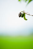 Fruta de Noni Imagen de archivo libre de regalías