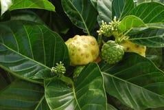 Fruta de Noni Imagen de archivo