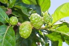 Fruta de Noni en árbol Imágenes de archivo libres de regalías