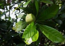 Fruta de Olosapo (polyandra de Couepia) Imagenes de archivo