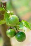 Fruta de paixão Imagens de Stock Royalty Free