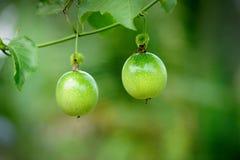 Fruta de paixão na videira Fotos de Stock Royalty Free