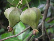 Fruta de palmera imágenes de archivo libres de regalías