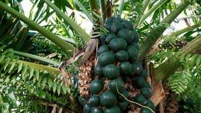 Fruta de palmera para el azúcar