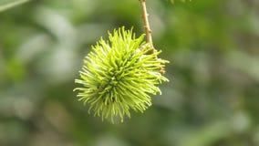 Fruta de Rambuttan foto de archivo libre de regalías