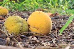 Fruta de Santol Fotografía de archivo libre de regalías
