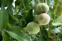 Fruta de Santol en árbol imagenes de archivo