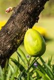 Fruta del árbol de calabaza mexicano Imagen de archivo libre de regalías