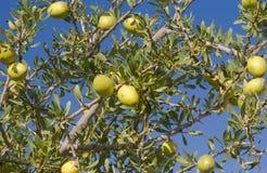 Fruta del árbol del Argan (argania spinosa) foto de archivo