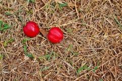 Fruta del Acerola en la tierra Imágenes de archivo libres de regalías