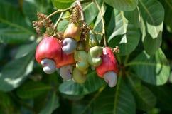 Fruta del anacardo Imágenes de archivo libres de regalías