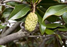 Fruta del Annona, en la familia de la manzana del pappaw/del azúcar Foto de archivo