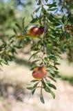 Fruta del Argan en árbol Imagen de archivo