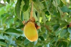 Fruta del baobab o pan de mono africana imágenes de archivo libres de regalías