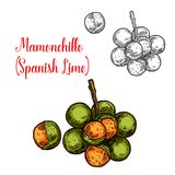 Fruta del bosquejo del vector de la cal de Mamonchillo libre illustration
