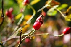Fruta del Briar Fotos de archivo libres de regalías