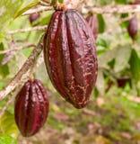 Fruta del cacao Imagen de archivo