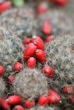 Fruta del cacto Foto de archivo libre de regalías
