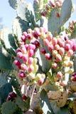 Fruta del cactus del cactus del higo chumbo imagen de archivo