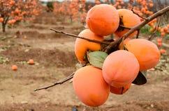 Fruta del caqui en el árbol imagen de archivo