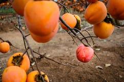 Fruta del caqui en el árbol fotos de archivo