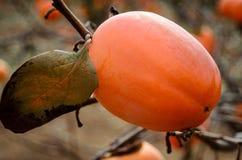 Fruta del caqui en el árbol fotos de archivo libres de regalías