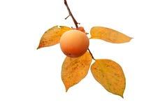 Fruta del caqui en el árbol con las hojas Foto de archivo libre de regalías