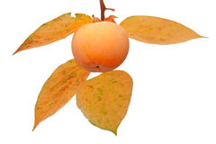 Fruta del caqui en el árbol con las hojas Fotografía de archivo libre de regalías