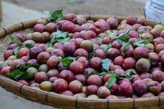 Fruta del ciruelo en la montaña de Moc Chau Fotos de archivo