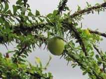 Fruta del cujete del Crescentia en árbol de calabaza imagenes de archivo