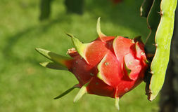 Fruta del dragón Foto de archivo