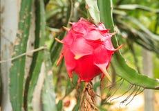 Fruta del dragón Foto de archivo libre de regalías