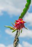 Fruta del dragón en fondo del cielo azul imágenes de archivo libres de regalías