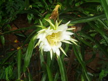 Fruta del dragón en la floración completa del ightime Fotografía de archivo libre de regalías