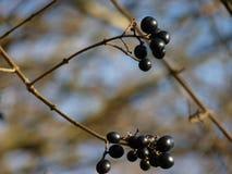 Fruta del espino cerval de aliso del alnus de Frangula Foto de archivo