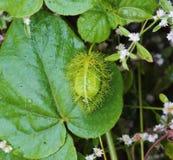 Fruta del foetida de la pasionaria Imagen de archivo