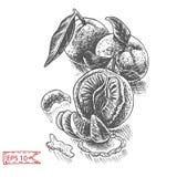 Fruta del fondo del bosquejo del vector citrus ilustración del vector