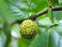 Fruta del Ginkgo fotos de archivo