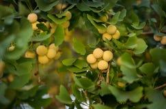 Fruta del Ginkgo Fotos de archivo libres de regalías